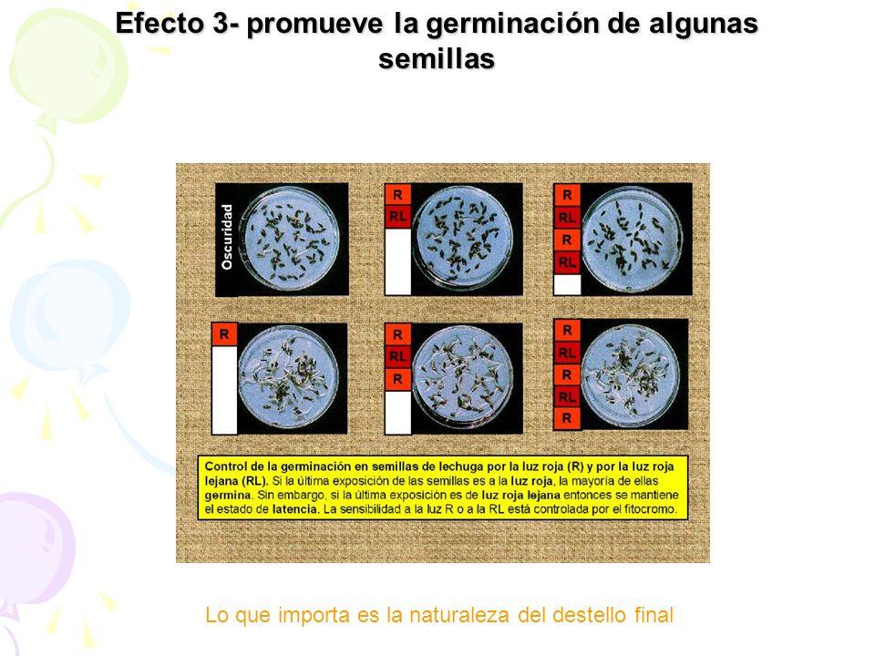 Lo que importa es la naturaleza del destello final Efecto 3- promueve la germinación de algunas semillas