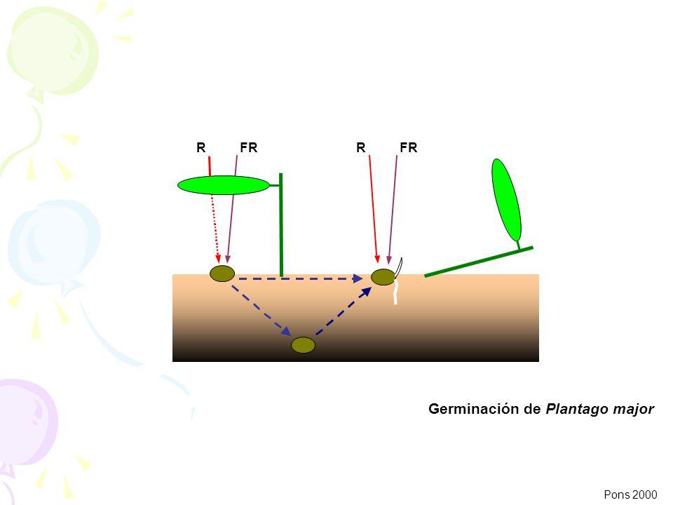 Germinación de Plantago major Pons 2000 RFRR