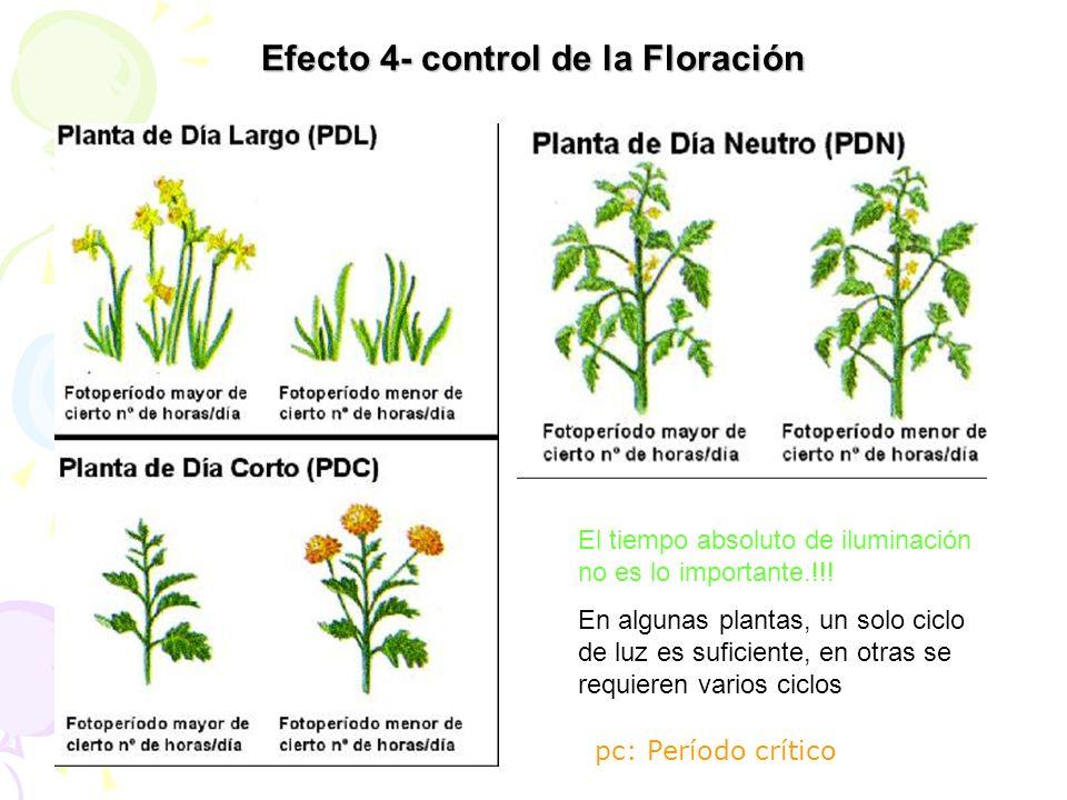 El tiempo absoluto de iluminación no es lo importante.!!! En algunas plantas, un solo ciclo de luz es suficiente, en otras se requieren varios ciclos