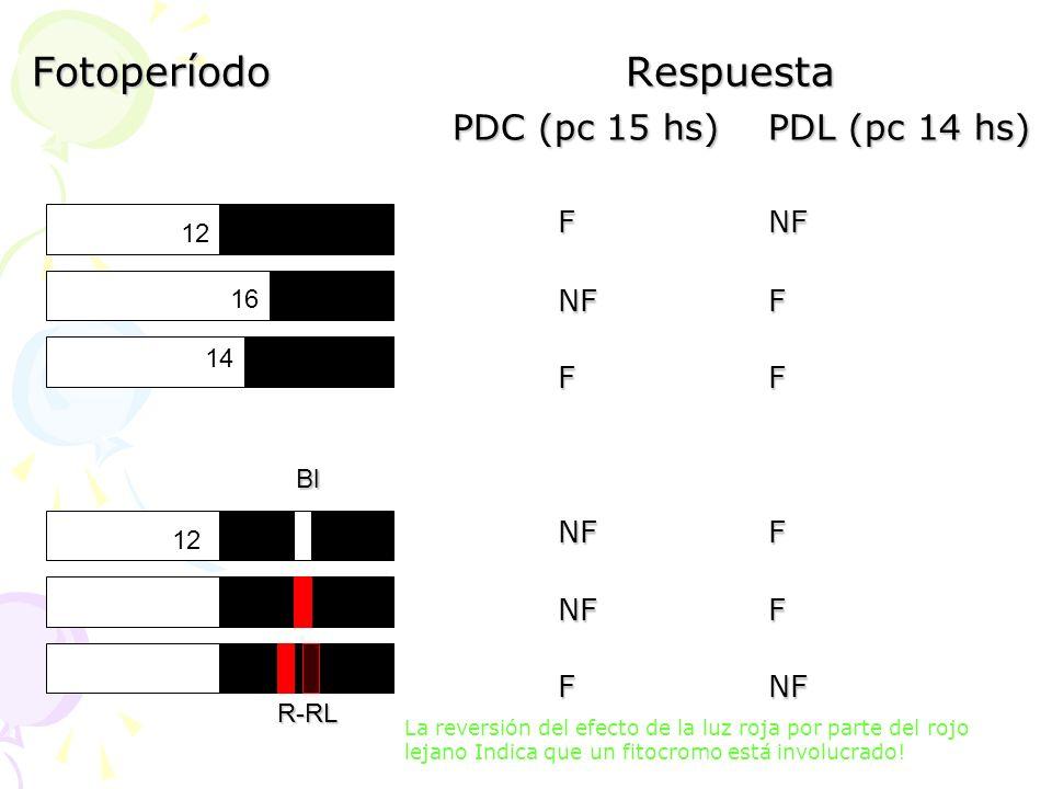 Fotoperíodo Respuesta PDC (pc 15 hs)PDL (pc 14 hs) FNF NFF FF NFF FNF 12 14 16 Bl R-RL La reversión del efecto de la luz roja por parte del rojo lejan