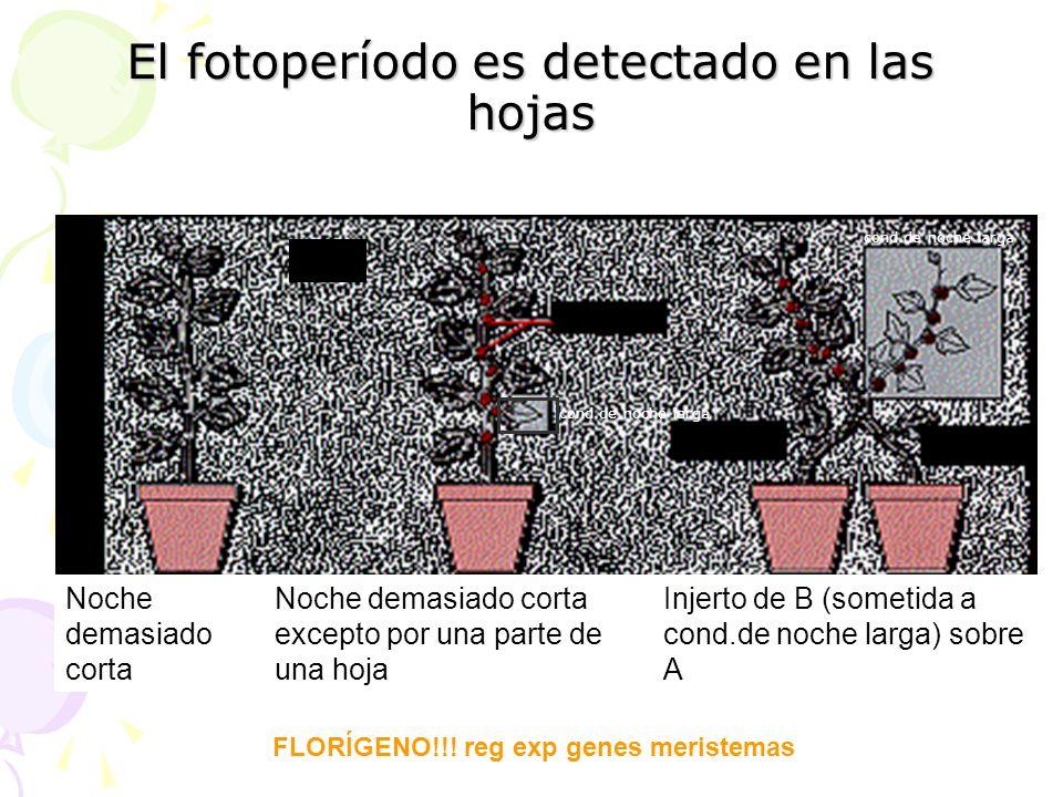 El fotoperíodo es detectado en las hojas PDC Noche demasiado corta Noche demasiado corta excepto por una parte de una hoja Injerto de B (sometida a co