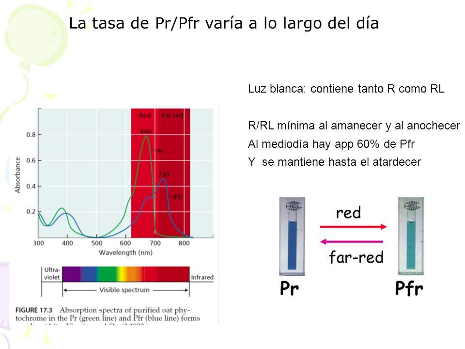 Luz blanca: contiene tanto R como RL R/RL mínima al amanecer y al anochecer Al mediodía hay app 60% de Pfr Y se mantiene hasta el atardecer La tasa de