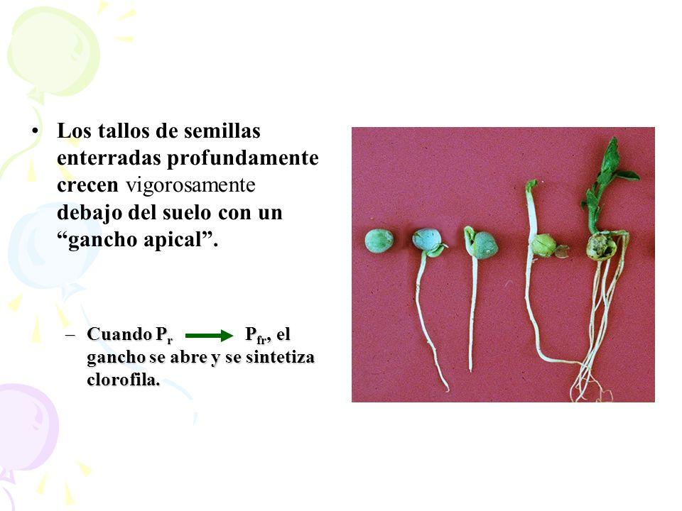 Los tallos de semillas enterradas profundamente crecen vigorosamente debajo del suelo con un gancho apical. –Cuando P r P fr, el gancho se abre y se s