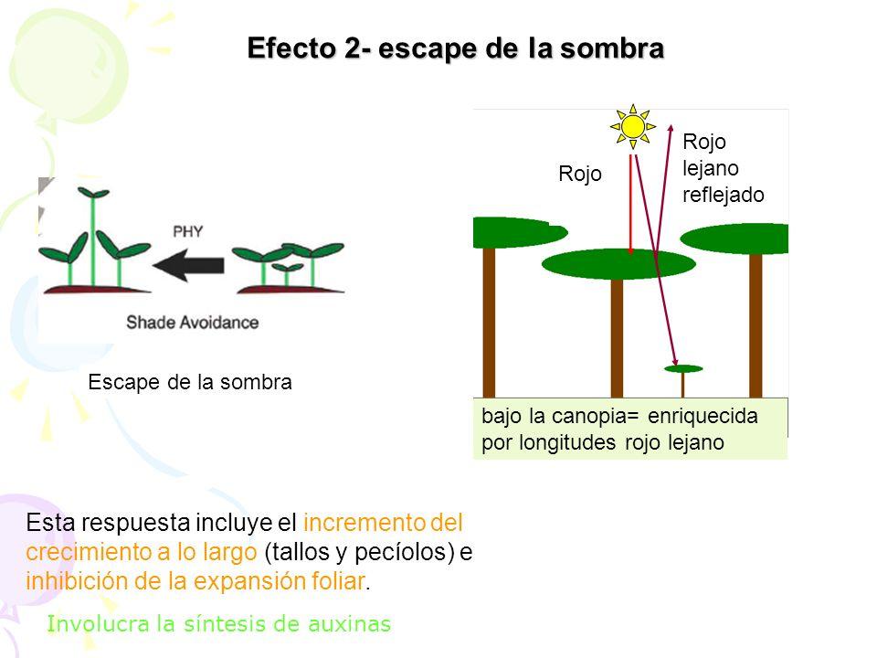 Efecto 2- escape de la sombra Esta respuesta incluye el incremento del crecimiento a lo largo (tallos y pecíolos) e inhibición de la expansión foliar.