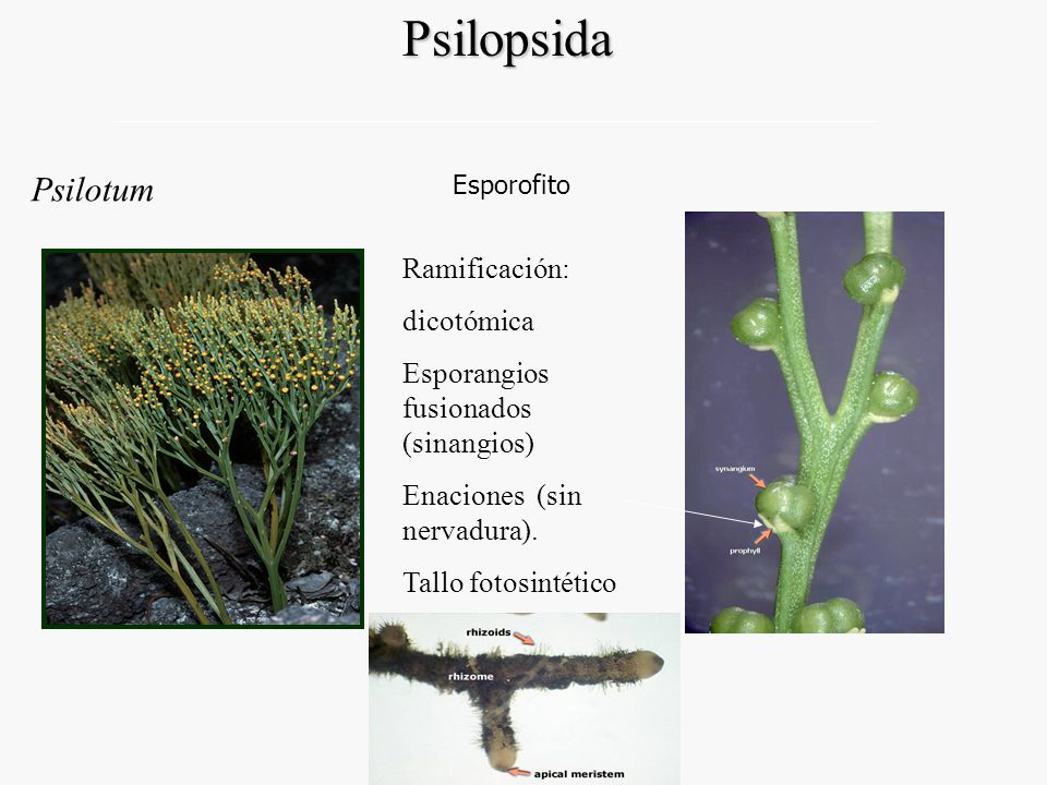 Endodermis, periciclo Estela en Psilotum: actinostela