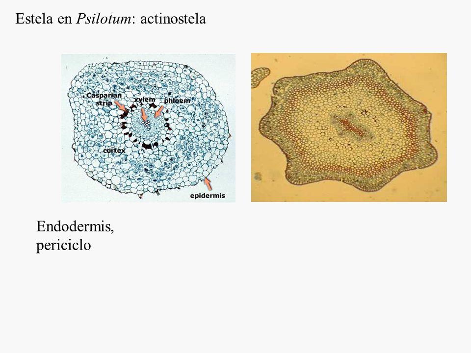 Estaquisporia: el esporangio tiene origen caulinar (filosporia, origen foliar) Rama cortaPsilopsida Eusporangios Tallo Cubierta estéril Corte transversal de sinangio