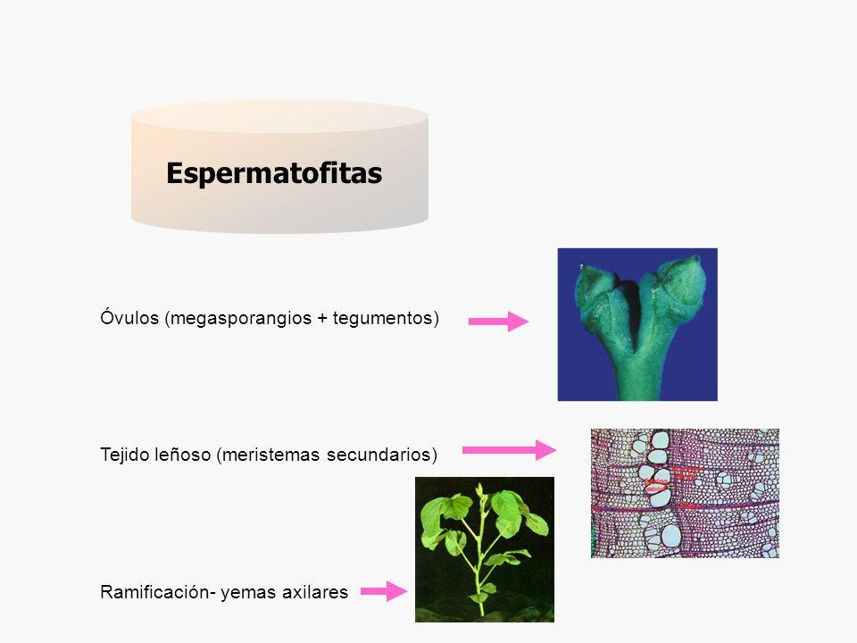 Espermatofitas actuales 250 000- 300 000 (Thorne, 2002; Scotland and Wortley, 2003) Cycadales Gnetales Coniferales Ginkgoales Angiospermales