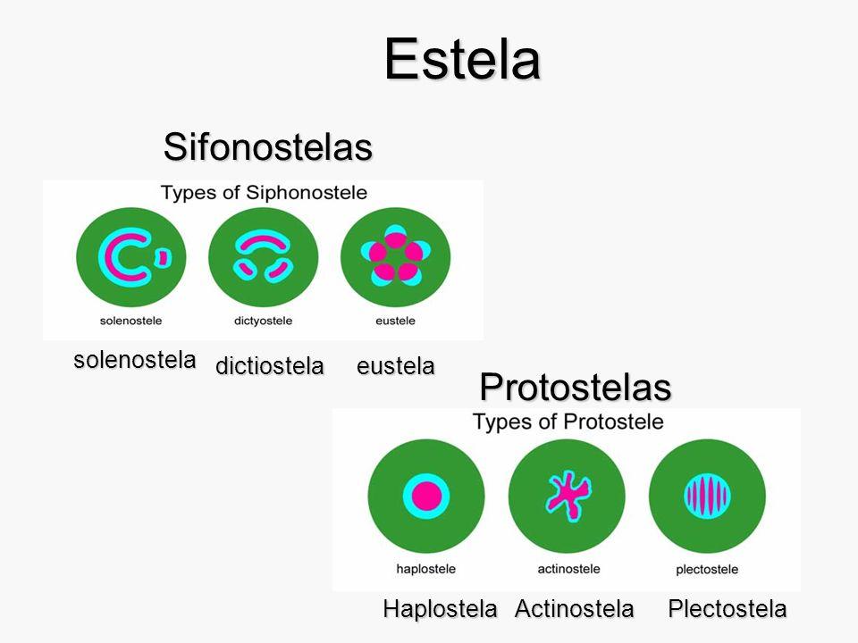 Rhynia Cutícula Células oclusivas del estoma C.T. tallo de esporofito: haplostela
