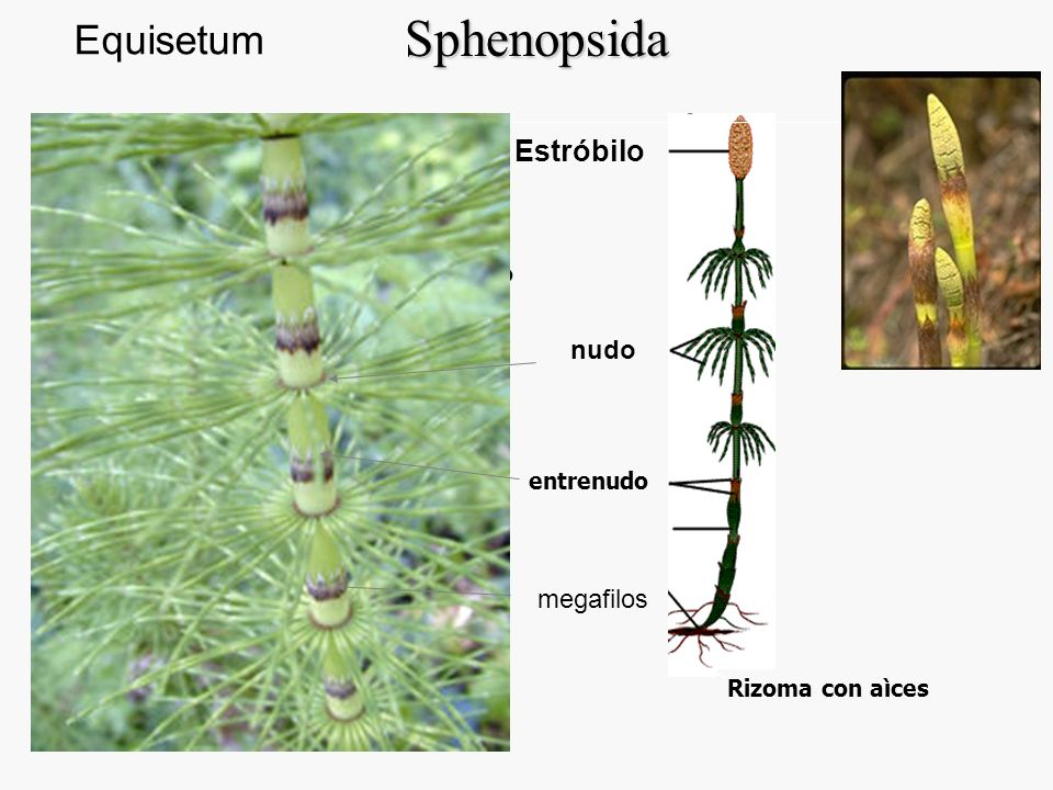esclerénquima corteza endodermis canal carinal canal valecular médula haz vascular Entrenudos: sifonostela Sphenopsida megafilos