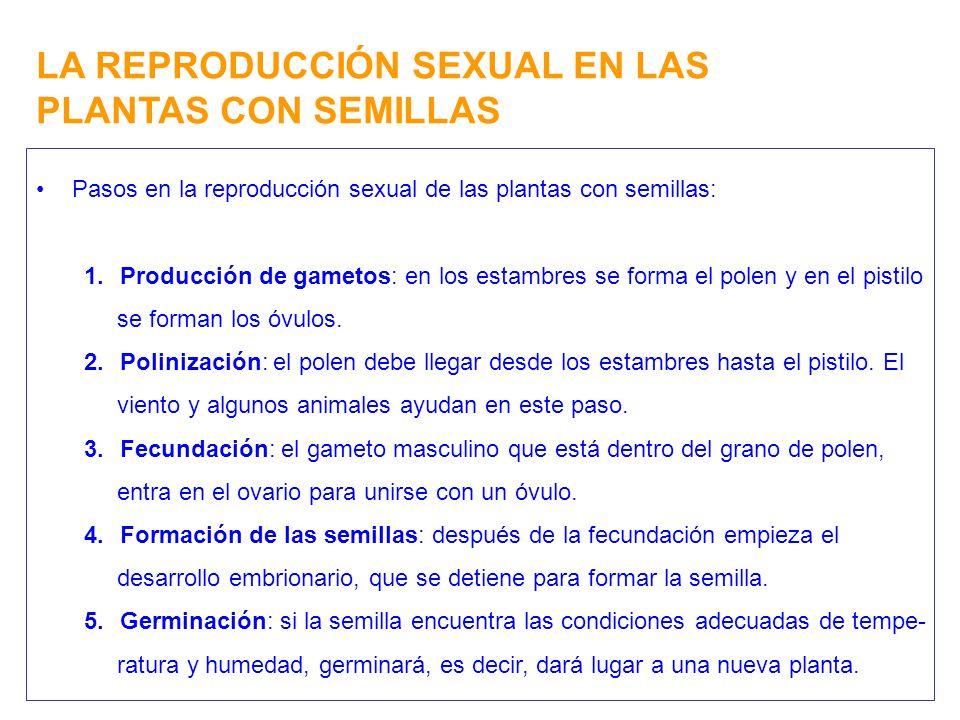 LA REPRODUCCIÓN SEXUAL EN LAS PLANTAS CON SEMILLAS Pasos en la reproducción sexual de las plantas con semillas: 1.Producción de gametos: en los estamb