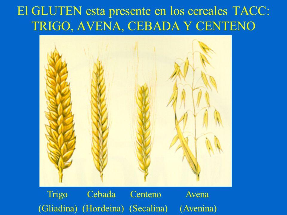 El GLUTEN esta presente en los cereales TACC: TRIGO, AVENA, CEBADA Y CENTENO Trigo Cebada Centeno Avena (Gliadina) (Hordeina) (Secalina) (Avenina)