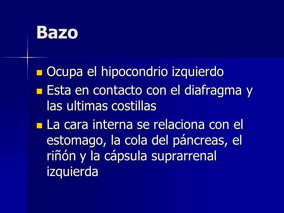 Bazo Ocupa el hipocondrio izquierdo Ocupa el hipocondrio izquierdo Esta en contacto con el diafragma y las ultimas costillas Esta en contacto con el d