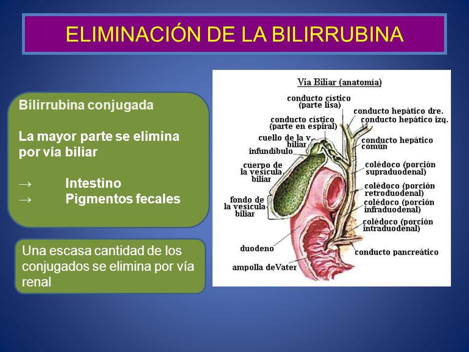 ELIMINACIÓN DE LA BILIRRUBINA Bilirrubina conjugada La mayor parte se elimina por vía biliar Intestino Pigmentos fecales Una escasa cantidad de los co