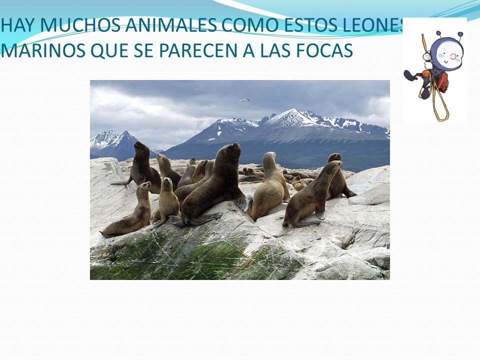 HAY MUCHOS ANIMALES COMO ESTOS LEONES MARINOS QUE SE PARECEN A LAS FOCAS