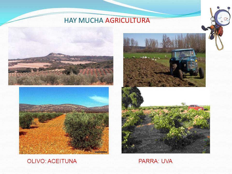 HAY MUCHA AGRICULTURA OLIVO: ACEITUNAPARRA: UVA