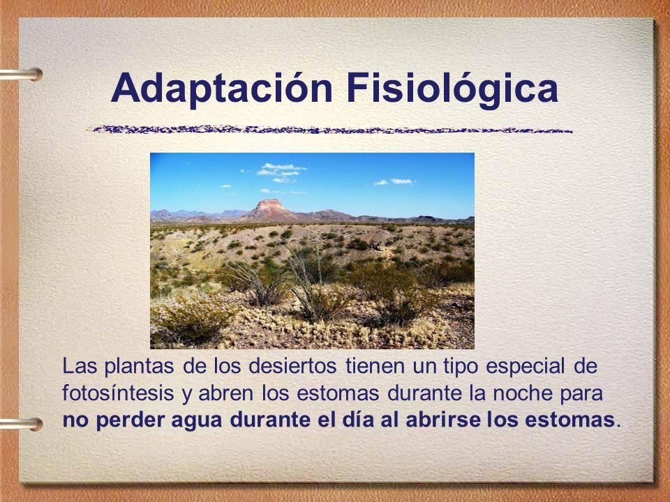 Adaptación Fisiológica Las plantas de los desiertos tienen un tipo especial de fotosíntesis y abren los estomas durante la noche para no perder agua durante el día al abrirse los estomas.