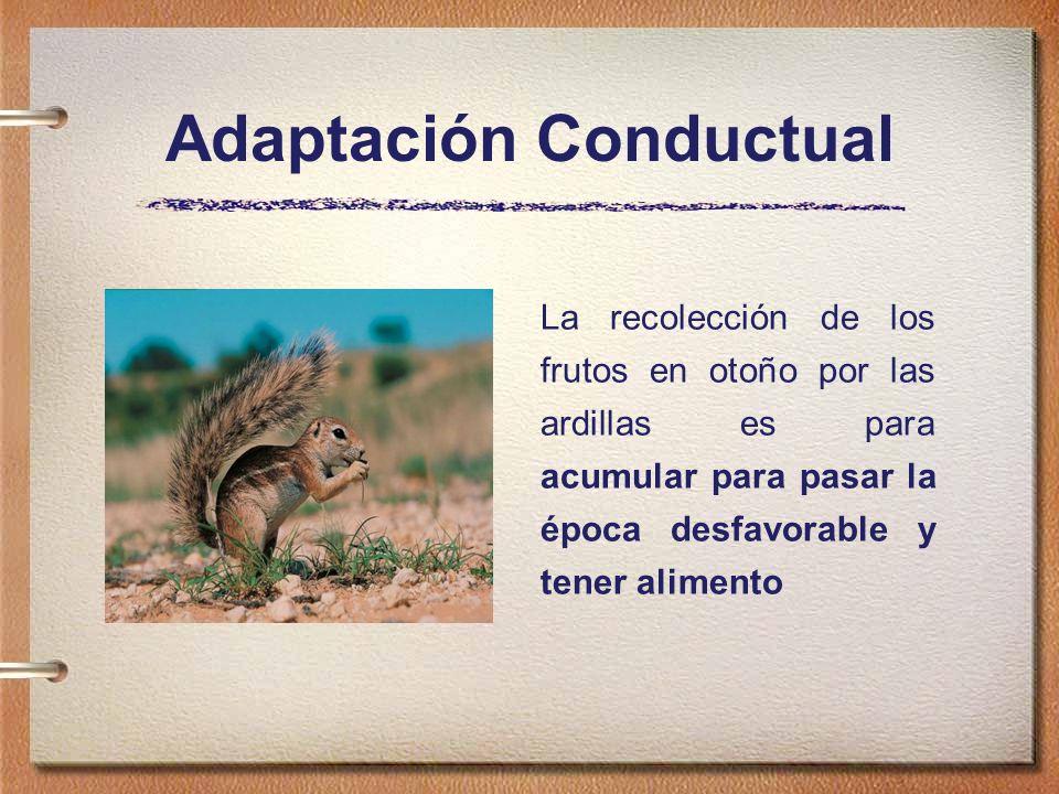 Adaptación Conductual La recolección de los frutos en otoño por las ardillas es para acumular para pasar la época desfavorable y tener alimento