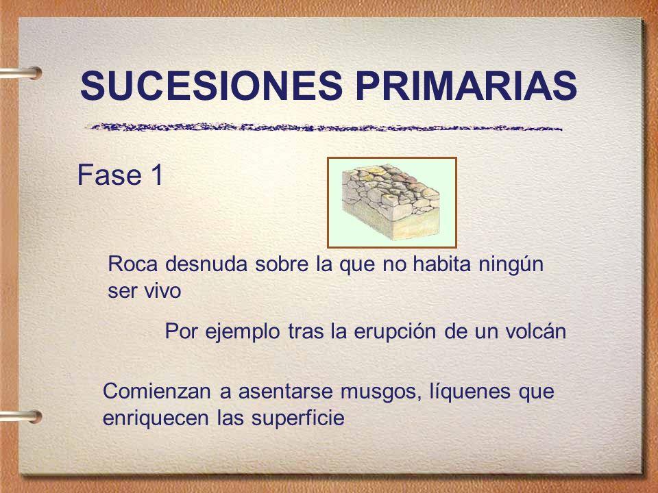 SUCESIONES PRIMARIAS Fase 1 Roca desnuda sobre la que no habita ningún ser vivo Por ejemplo tras la erupción de un volcán Comienzan a asentarse musgos, líquenes que enriquecen las superficie