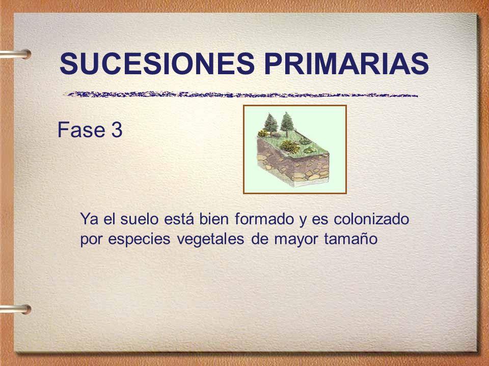 SUCESIONES PRIMARIAS Fase 3 Ya el suelo está bien formado y es colonizado por especies vegetales de mayor tamaño