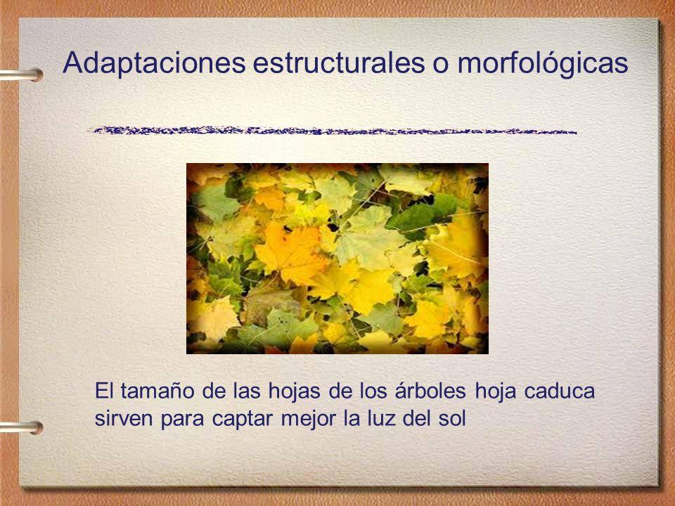 Las hojas de los cactus de han adaptado para disminuir la pérdida de agua transformándose en espinas, al mismo tiempo sirven de protección frente a los animales herbívoros Adaptaciones estructurales o morfológicas