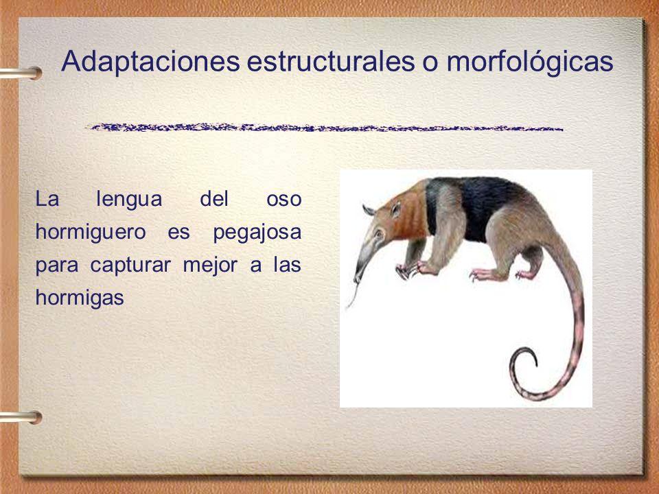 La lengua del oso hormiguero es pegajosa para capturar mejor a las hormigas