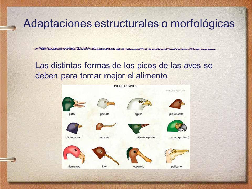 Adaptaciones estructurales o morfológicas Las distintas formas de los picos de las aves se deben para tomar mejor el alimento