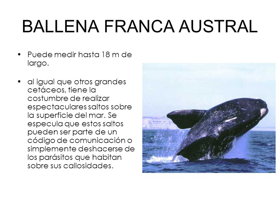 BALLENA FRANCA AUSTRAL Puede medir hasta 18 m de largo. al igual que otros grandes cetáceos, tiene la costumbre de realizar espectaculares saltos sobr
