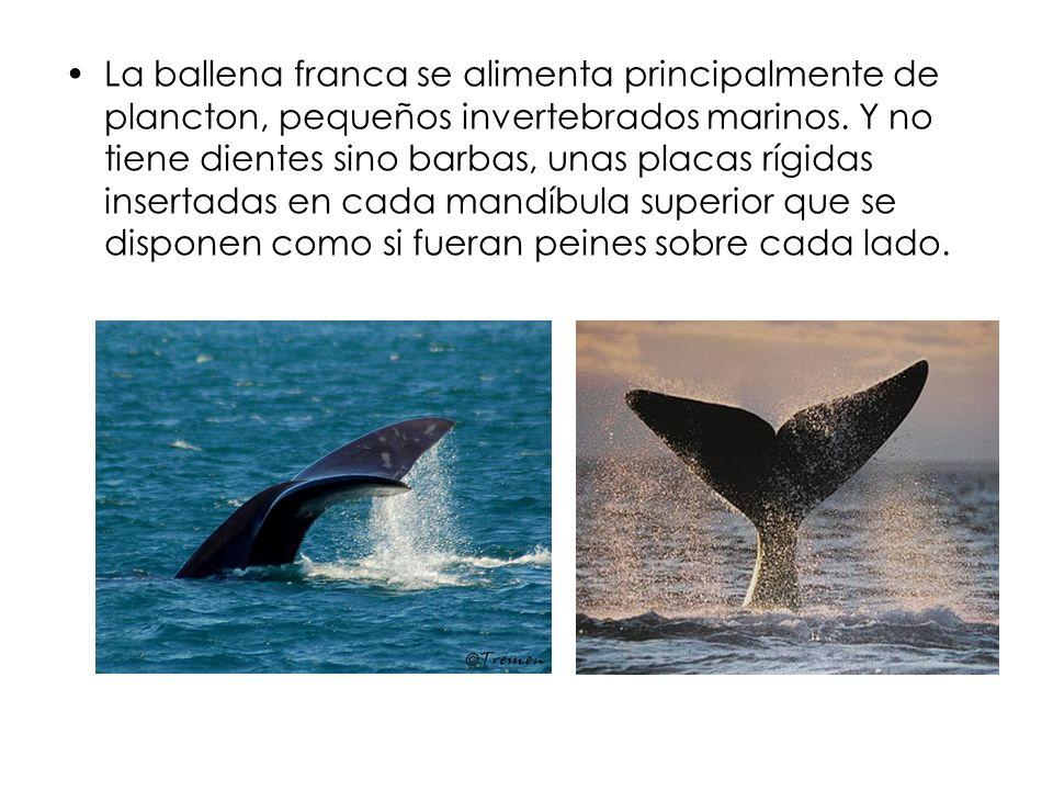 La ballena franca se alimenta principalmente de plancton, pequeños invertebrados marinos. Y no tiene dientes sino barbas, unas placas rígidas insertad