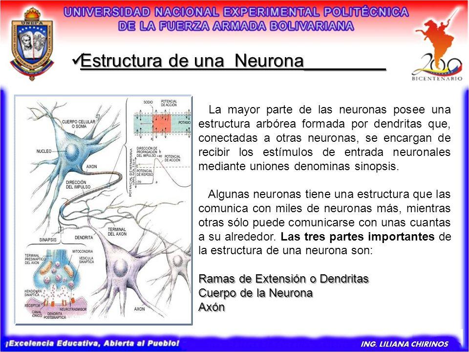 La mayor parte de las neuronas posee una estructura arbórea formada por dendritas que, conectadas a otras neuronas, se encargan de recibir los estímul