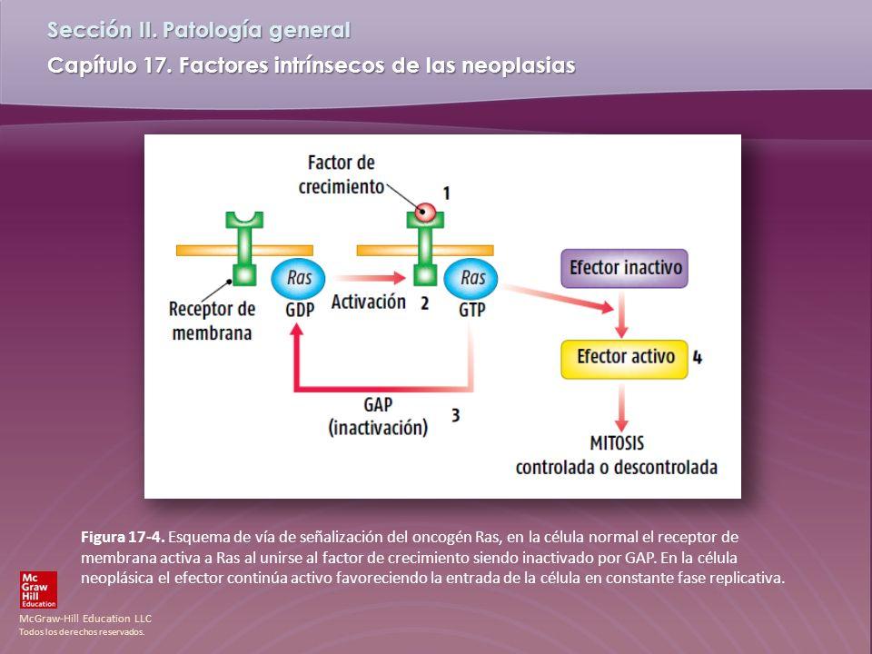 McGraw-Hill Education LLC Todos los derechos reservados. Capítulo 17. Factores intrínsecos de las neoplasias Sección II. Patología general Figura 17-4