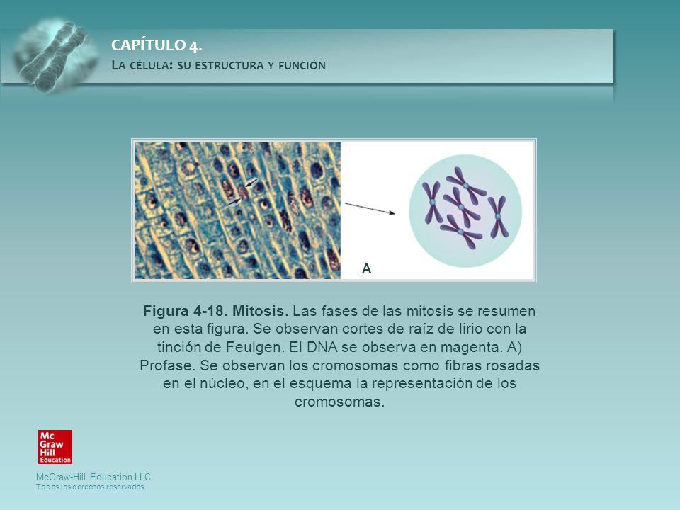 McGraw-Hill Education LLC Todos los derechos reservados. CAPÍTULO 4. L A CÉLULA : SU ESTRUCTURA Y FUNCIÓN Figura 4-18. Mitosis. Las fases de las mitos