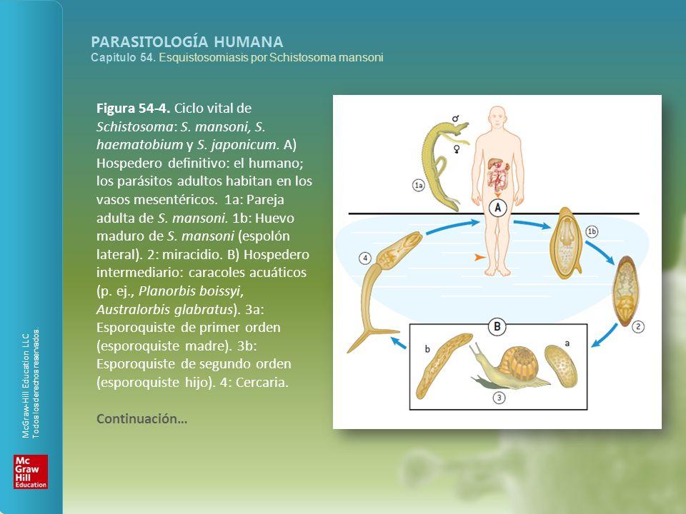McGraw-Hill Education LLC Todos los derechos reservados. PARASITOLOGÍA HUMANA Capítulo 54. Esquistosomiasis por Schistosoma mansoni Figura 54-4. Ciclo