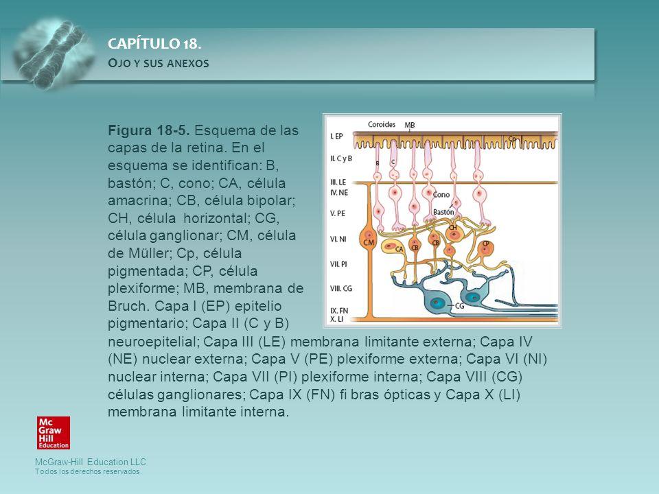 McGraw-Hill Education LLC Todos los derechos reservados. CAPÍTULO 18. O JO Y SUS ANEXOS Figura 18-5. Esquema de las capas de la retina. En el esquema