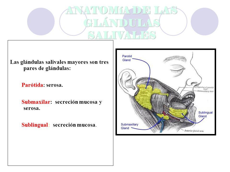ANATOMíA DE LAS GLÁNDULAS SALIVALES Las glándulas salivales mayores son tres pares de glándulas: Parótida Parótida: serosa.