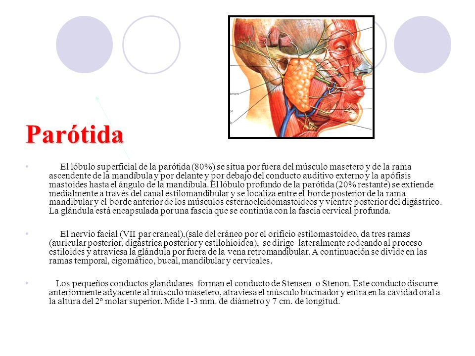 Fig Parótida El lóbulo superficial de la parótida (80%) se situa por fuera del músculo masetero y de la rama ascendente de la mandíbula y por delante y por debajo del conducto auditivo externo y la apófisis mastoides hasta el ángulo de la mandíbula.