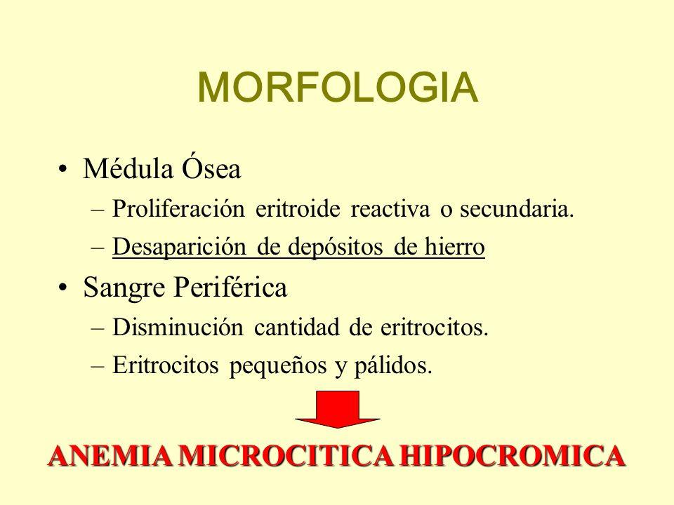 MORFOLOGIA Médula Ósea –Proliferación eritroide reactiva o secundaria. –Desaparición de depósitos de hierro Sangre Periférica –Disminución cantidad de