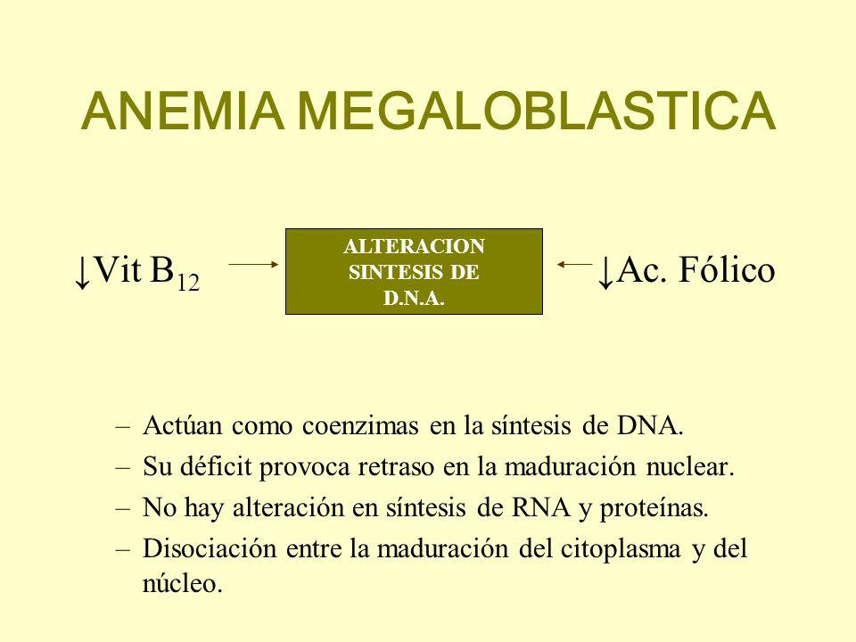 ANEMIA MEGALOBLASTICA Vit B 12 Ac. Fólico –Actúan como coenzimas en la síntesis de DNA. –Su déficit provoca retraso en la maduración nuclear. –No hay