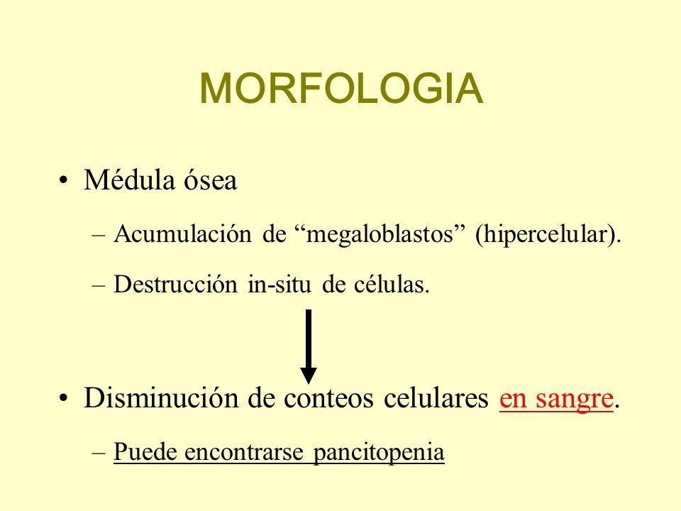 MORFOLOGIA Médula ósea –Acumulación de megaloblastos (hipercelular). –Destrucción in-situ de células. Disminución de conteos celulares en sangre. –Pue