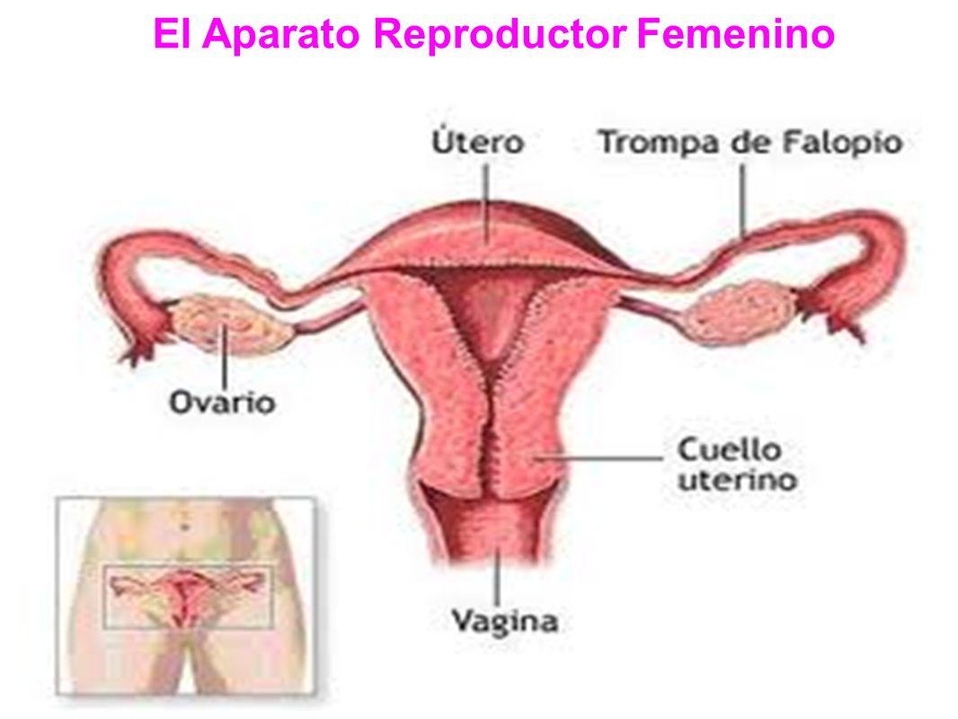 El Aparato Reproductor Femenino