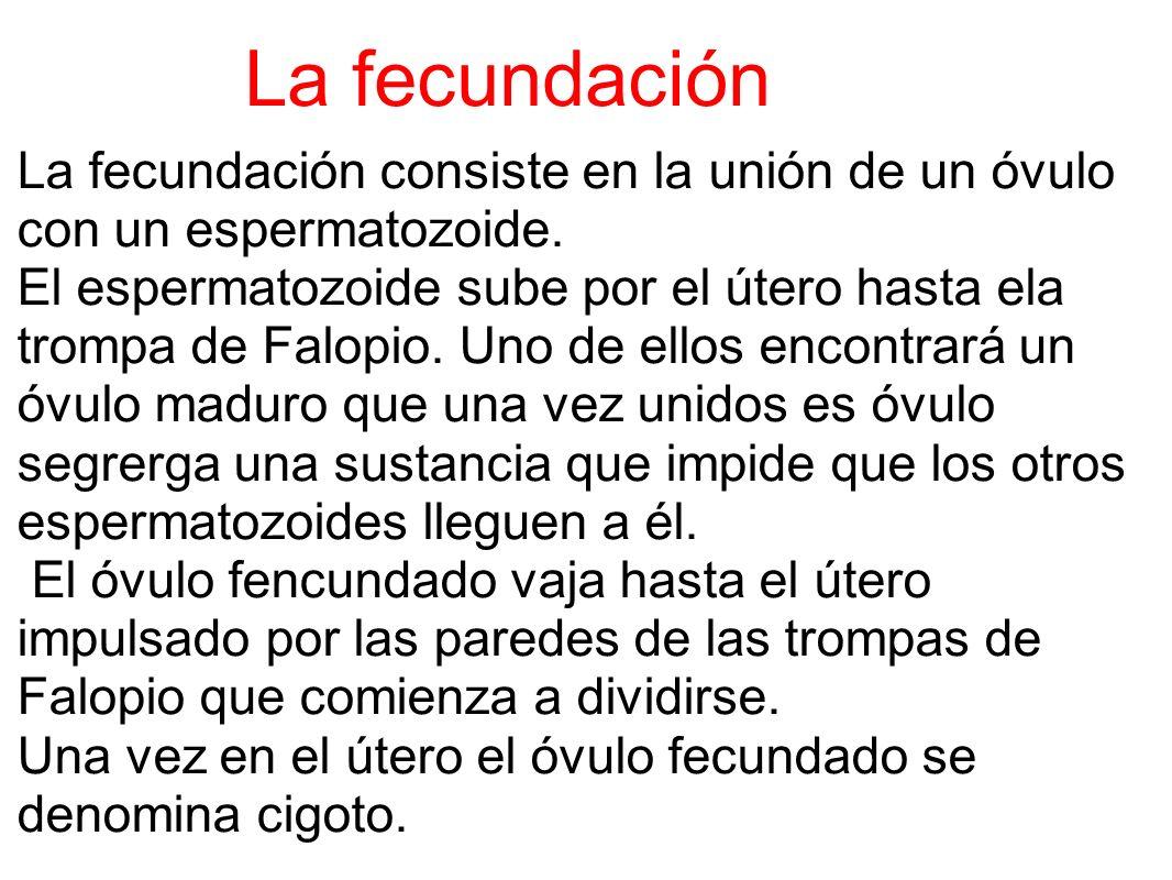 La fecundación La fecundación consiste en la unión de un óvulo con un espermatozoide. El espermatozoide sube por el útero hasta ela trompa de Falopio.
