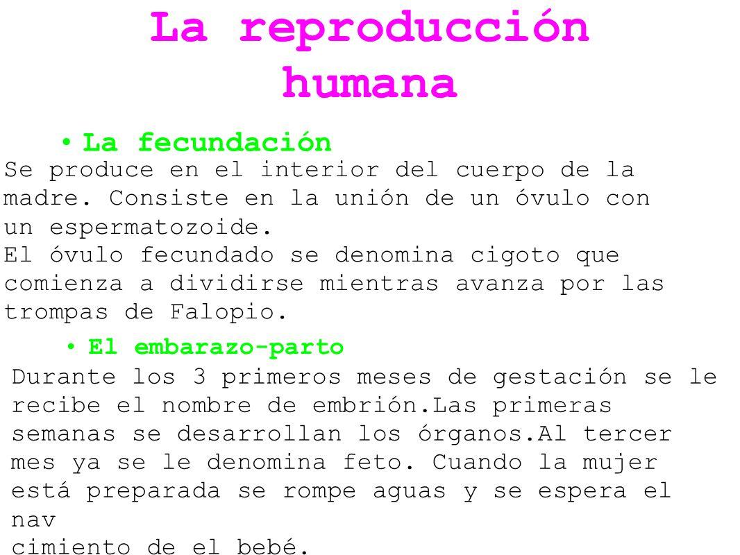 La reproducción humana La fecundación Se produce en el interior del cuerpo de la madre. Consiste en la unión de un óvulo con un espermatozoide. El óvu