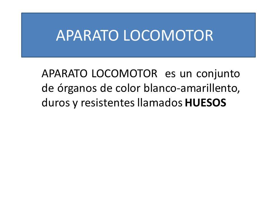APARATO LOCOMOTOR es un conjunto de órganos de color blanco-amarillento, duros y resistentes llamados HUESOS APARATO LOCOMOTOR
