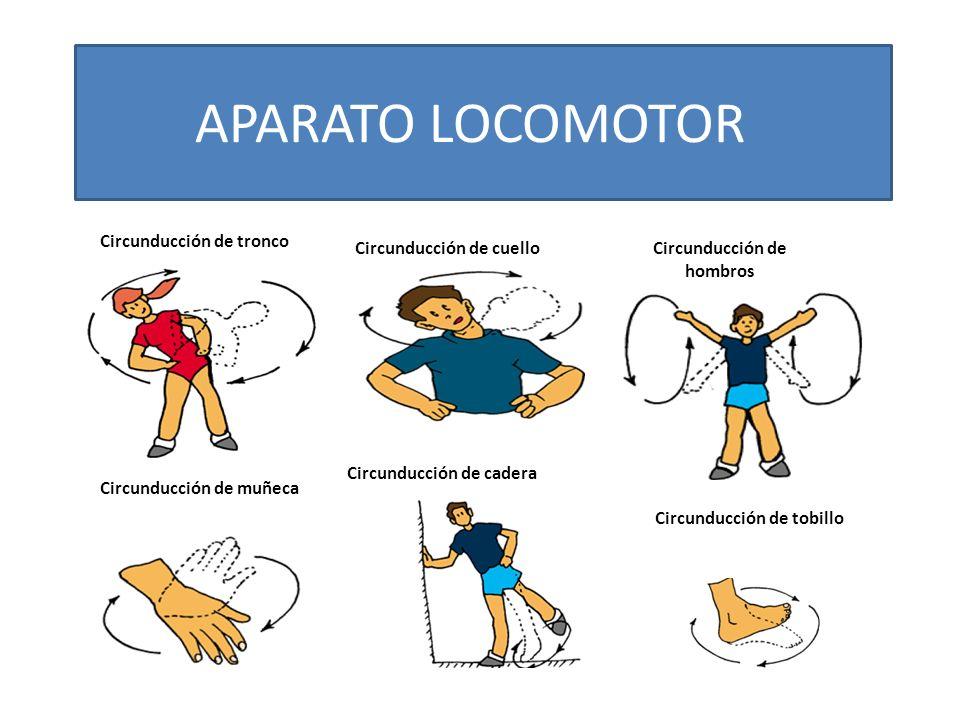 Circunducción de tronco Circunducción de cuelloCircunducción de hombros Circunducción de muñeca Circunducción de cadera Circunducción de tobillo