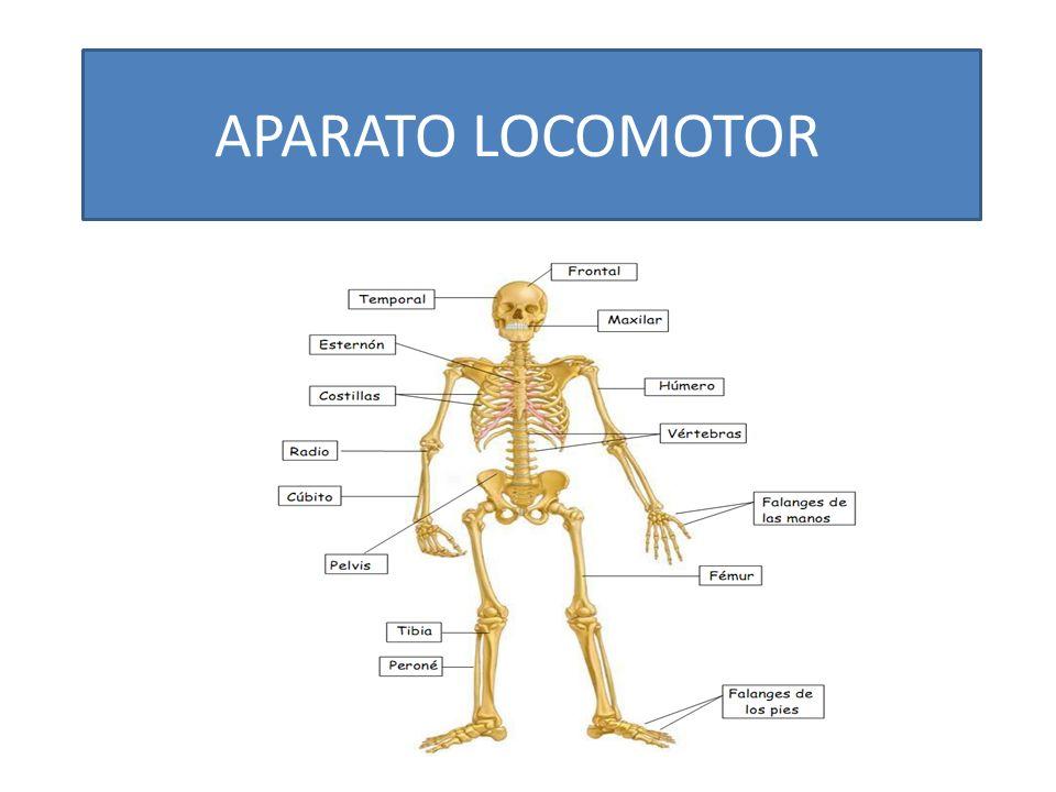 Organos del sistema locomotor – Dietas de nutricion y alimentos
