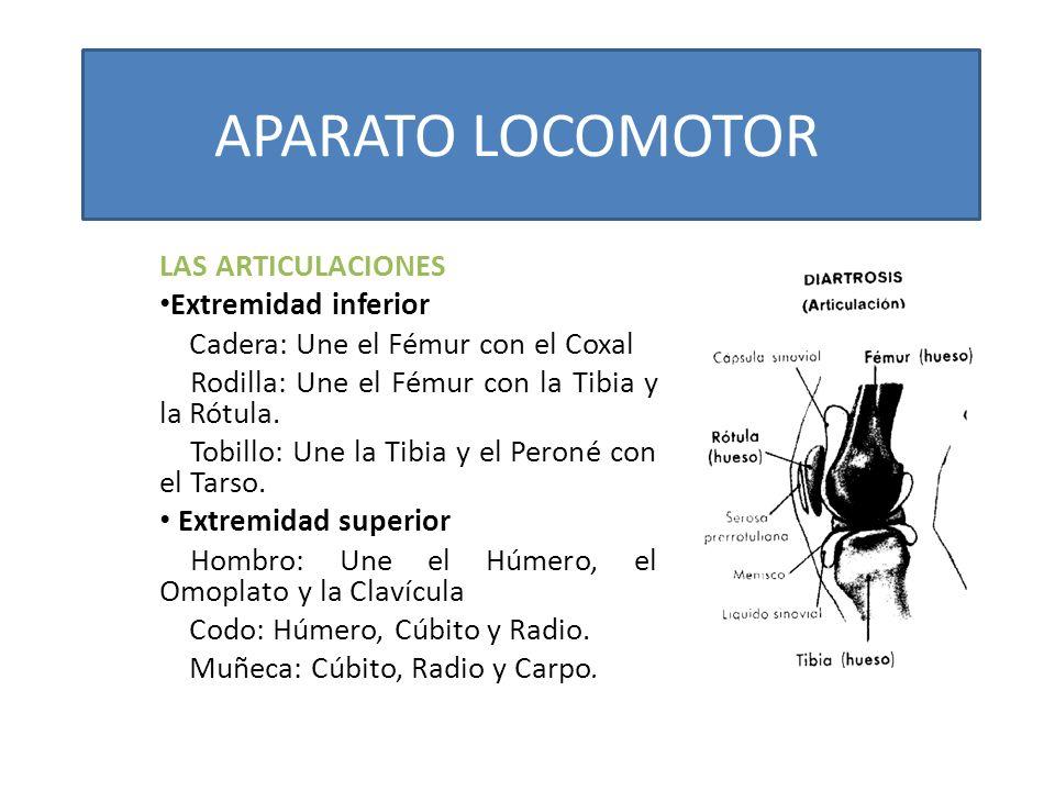 APARATO LOCOMOTOR LAS ARTICULACIONES Extremidad inferior Cadera: Une el Fémur con el Coxal Rodilla: Une el Fémur con la Tibia y la Rótula. Tobillo: Un