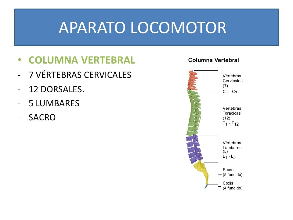 COLUMNA VERTEBRAL -7 VÉRTEBRAS CERVICALES -12 DORSALES. -5 LUMBARES -SACRO APARATO LOCOMOTOR