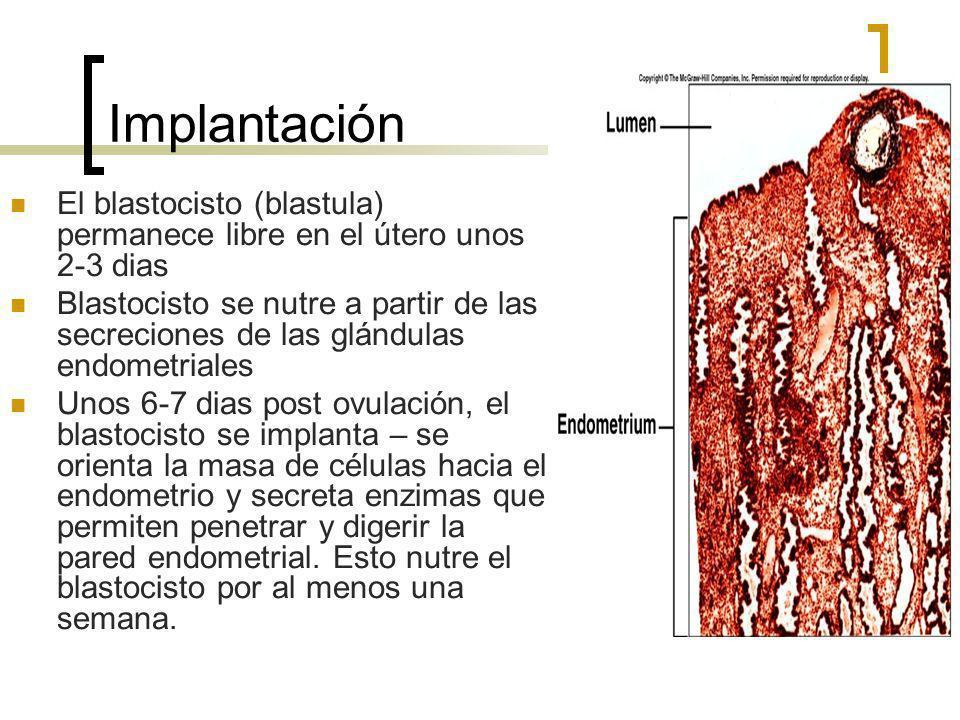 Implantación El blastocisto (blastula) permanece libre en el útero unos 2-3 dias Blastocisto se nutre a partir de las secreciones de las glándulas end