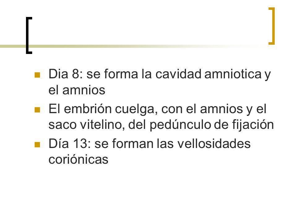 Dia 8: se forma la cavidad amniotica y el amnios El embrión cuelga, con el amnios y el saco vitelino, del pedúnculo de fijación Día 13: se forman las