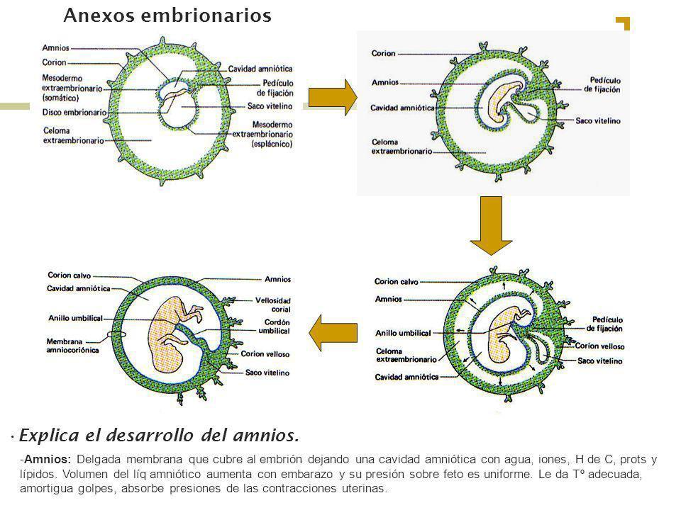 Anexos embrionarios Explica el desarrollo del amnios. -Amnios: Delgada membrana que cubre al embrión dejando una cavidad amniótica con agua, iones, H