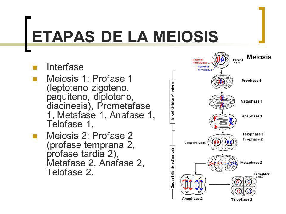 ETAPAS DE LA MEIOSIS Interfase Meiosis 1: Profase 1 (leptoteno zigoteno, paquiteno, diploteno, diacinesis), Prometafase 1, Metafase 1, Anafase 1, Telo